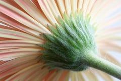 gerbera λουλουδιών μαργαριτών Στοκ Εικόνες