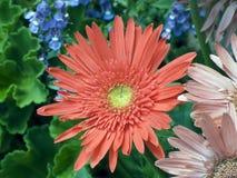 gerbera μαργαριτών flowerbox Στοκ φωτογραφία με δικαίωμα ελεύθερης χρήσης