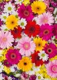 gerbera λουλουδιών ανασκόπησ&e Στοκ Εικόνα