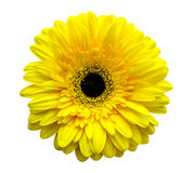 gerbera λουλουδιών Στοκ Φωτογραφία