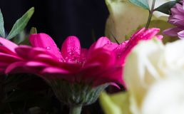 Gerbera της Daisy με τις πτώσεις νερού στην ανθοδέσμη Στοκ Φωτογραφία