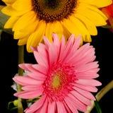 Gerbera и солнцецвет Стоковое Изображение