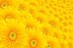 Gerbera, маргаритка Barberton так много цветков как предпосылка. Стоковое Фото