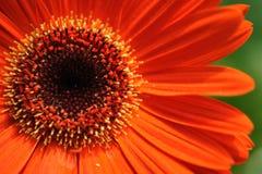 gerbera маргаритки Стоковые Фото