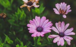 Gerbera маргаритки Стоковая Фотография RF