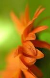 gerbera маргаритки Стоковые Фотографии RF