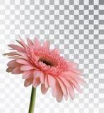 Gerbera на прозрачной предпосылке Стоковое Фото