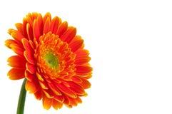 Gerbera оранжевой маргаритки Стоковое Фото