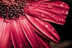gerbera падений росы маргаритки Стоковое фото RF