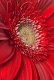 gerbera фокуса цветка маргаритки первый Стоковое Изображение