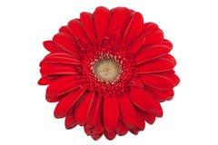 gerbera фокуса цветка маргаритки первый Стоковые Изображения