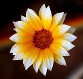 gerbera фокуса цветка маргаритки первый Стоковое Фото