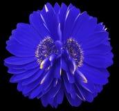 Gerbera цветет синь closeup красивый цветок 2 Черная предпосылка Стоковое Изображение