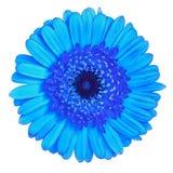 Gerbera цветка голубой изолированный на белой предпосылке Конец-вверх элемент конструкции рождества колокола Стоковое Изображение