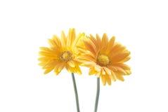 gerbera цветка маргаритки Стоковое фото RF