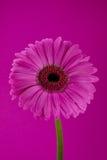 gerbera цветка Стоковые Изображения RF