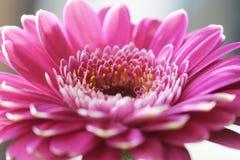 gerbera цветка стоковые изображения