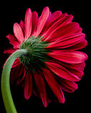 Gerbera Photographie stock