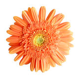 Gerbera. The Beautiful flower gerbera, on white background stock images