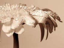 Gerbera. The Gerbera macro detail of the leafs Royalty Free Stock Image