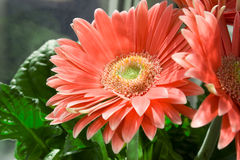 Gerbera Royalty Free Stock Images