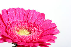 Gerbera foto de stock royalty free