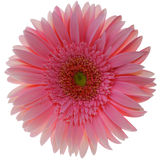 Gerbera Photo stock