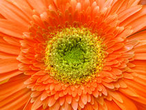 Gerbera. Extreme close-up of an orange gerbera flower Stock Photos