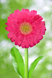 Gerbera. Purple  gerbera on green blurred background Stock Photography