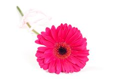 Gerbera Royalty Free Stock Photo