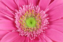 Gerbera - Photographie stock
