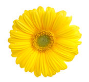 Gerbera. Yellow gerbera (daisy). Picture was made in a studio Stock Image