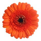 Gerbera. Red gerbera (daisy). Picture was made in a studio Stock Images