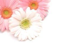 Gerbera Photo stock
