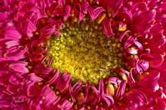 Gerbera. A closeup of a pink gerbera flower Royalty Free Stock Image