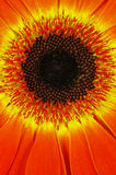 Gerbera. Macro yellow orange gerbera in decorative background Royalty Free Stock Images