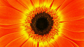Gerbera. Macro yellow orange gerbera in decorative background Royalty Free Stock Photo