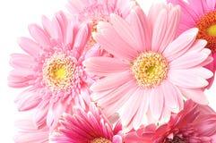Gerbera Royalty Free Stock Images