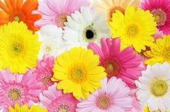 Gerbera. Bouquet of pink gerbera flowers Stock Image