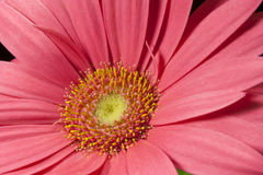 Gerbera. Particular of a flower of rose gebera Stock Photos