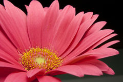 Gerbera. Particular of a flower of rose gebera Royalty Free Stock Images