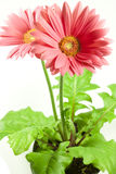 Gerbera. Particular of a flower of rose gebera Stock Image