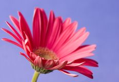 Gerbera. Focus on the closest petals Royalty Free Stock Images