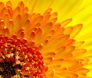 The Gerbera Royalty Free Stock Photos