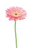 Όμορφο ρόδινο λουλούδι μαργαριτών gerbera που απομονώνεται Στοκ Φωτογραφία