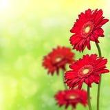 Gerbera 4 красных цветов на bokeh предпосылки Стоковая Фотография