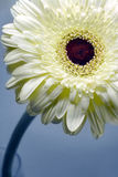Gerbera. In a glas of water, focus in the middle of flower stock images
