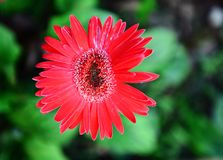 Gerbera Fotos de Stock