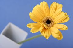 Gerbera. Flower close,short depth of field stock images