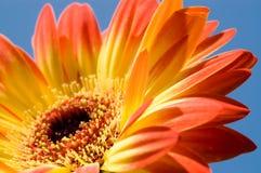 Gerbera Image libre de droits